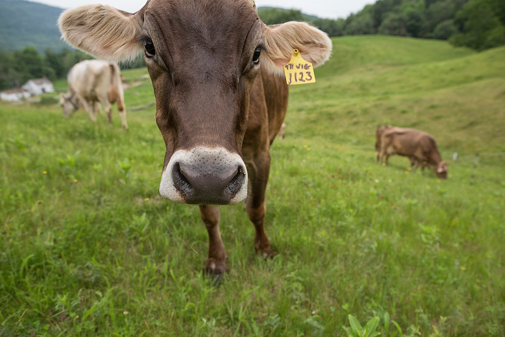 Herd of Brown Swiss cows grazing, one looking at the camera