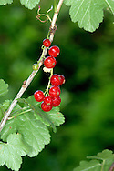 RED CURRANT Ribes rubrum (Grossulariaceae) Height to 2m<br /> Deciduous shrub, found in damp woodland and beside streams and rivers. FLOWERS are greenish, bell-shaped and pendent; in clusters of up to 20 flowers (Apr-May). FRUITS are red, shiny berries. LEAVES are rounded, irregularly 5-lobed and are not aromatic when bruised. STATUS-Widespread and locally common native; also widely naturalised.