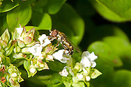 Thick-legged Hoverfly - Syritta pipiens - male