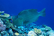 giant bumphead parrotfish, Bolbometopon muricatum, feeding on Acropora coral, The Cod Hole, Ribbon Reefs, Great Barrier Reef, Australia ( Western Pacific Ocean )