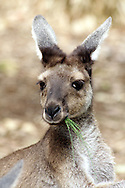 PERTH - 4 April 2010 - A kangaroo eats some pine needles at the Perth Zoo. The kangaroo is a national symbol of Australia and it is found all across the country. Picture: Giordano Stolley