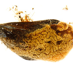 Orange sheath tunicate, Botryloides aureum, on a blue mussel. Found in the Atlantic Ocean in Rye, New Hampshire.