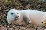 Seal pups love to play and wriggle around in the sand! (Donna Nook)