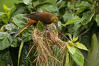 female Russet-backed Oropendola (Psarocolius angustifrons) building a nest next to the  small tower at Napo Wildlife Center, Yasuni National Park, Orellana Province, Ecuador
