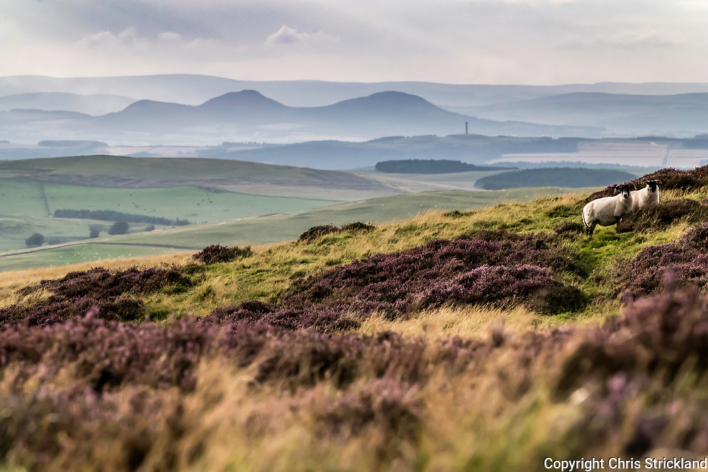 Heatherhope, Hownam, Kelso, UK. 30th August 2017. Black Face sheep graze amongst the purple heather in the Cheviot Hills. The Border landmarks of the Eildon Hills and the Waterloo Monument Tower can be seen in the distance.
