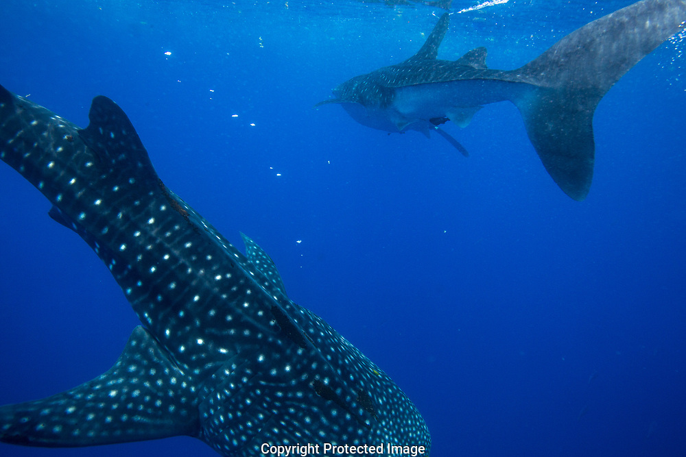 Whale sharks (Rhincodon typus) passing in Honda Bay, Palawan, the Philippines.