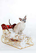Siamese cat on a Christmas sleigh