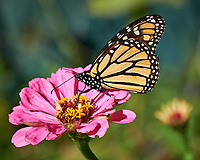 Monarch Butterfly Feeding on a Pink Zinnia Flower. Image taken with a Fuji X-H1 camera and 80 mm f/2.8 OIS macro lens (ISO 200, 80 mm, f/5.6, 1/900 sec).