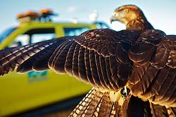 Desde 2009 a empresa de falcoaria Hayabusa usa falcões e gaviões treinados para afastar e capturar aves capazes de se chocar contra os voos do Aeroporto Internacional Salgado Filho, em Porto Alegre. FOTO: Jefferson Bernardes/Preview.com