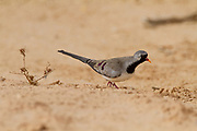 Male Namaqua dove (Oena capensis) The males have yellow and red beaks, while the female (here) has a black beak. This dove forages for seeds. It is found throughout sub-Saharan Africa, and up into the Arabian peninsula and Turkey. Photographed near water in the Negev desert, israel