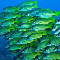 Hawaiian Fish Pictures