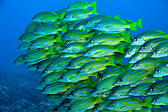 Bluestripe Snapper, Lutjanus kasmira, Molokai Hawaii