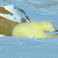 Polar bear resting in the late afternoon sun near Churchill Manitoba Canada.