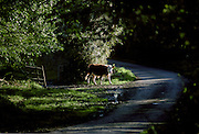 Cow in country lane at Kestle, Cornwall, England, United Kingdom