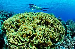 Turbinaria mesenterina, Korallenriff mit Salatkoralle und Taucher, Coralreef with Yellow pagoda Coral, Vase Coral and scuba diver, Hurghada, Rotes Meer, Ägypten, Red Sea Egypt