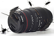 Cockroaches crawling on a Sigma lens. Cutout of a on white background