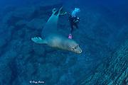 scuba diver and Hawaiian monk seal ( Neomonachus schauinslandi ) critically endangered and endemic to Hawaiian Islands, Lehua Rock, near Niihau, off Kauai, Hawaii ( Central Pacific Ocean ) MR 326
