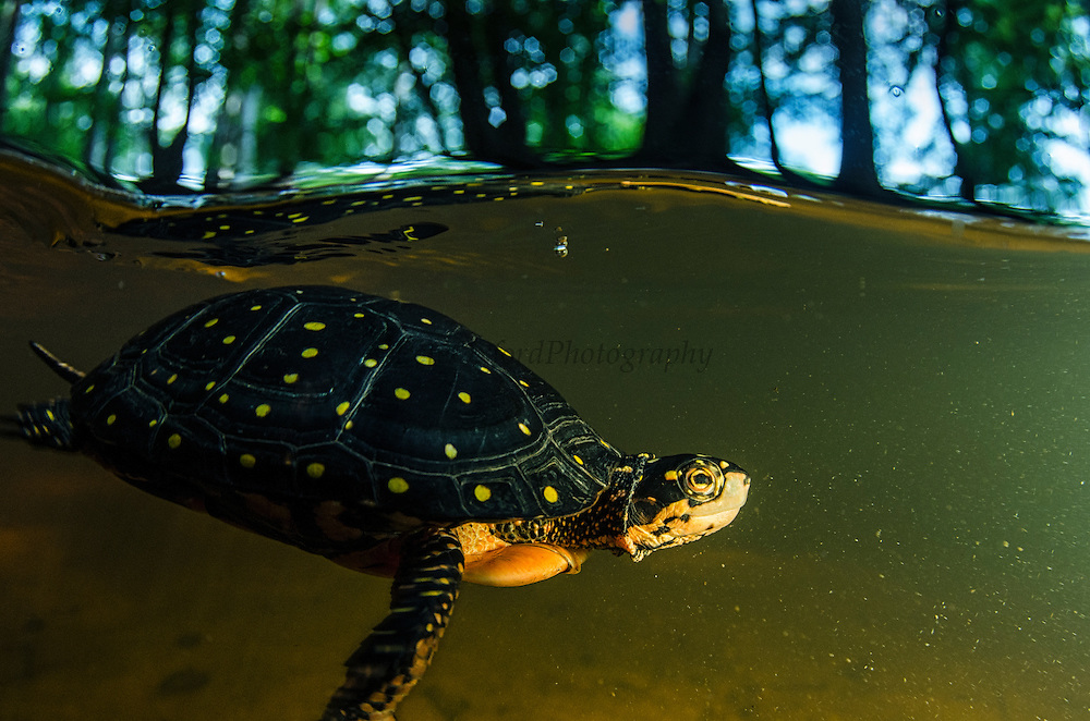 Spotted Turtle (Clemmys guttata) CAPTIVE<br /> The Orianne Indigo Snake Preserve<br /> Telfair County. Georgia<br /> USA<br /> HABITAT & RANGE: Freshwater marshes, bogs, flooded forests and woodland streams from Southern Canada and Eastern USA<br /> IUCN STATUS: Vulnerable
