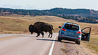 Vistors at Wind Cave National Park  yield to  bison and other wildlife as they approach and cross the roads.  South Dakota.