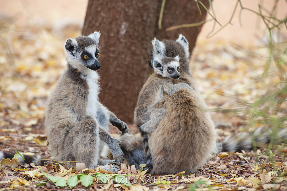 Ring-tailed Lemur<br /> Lemur catta<br /> Mother with 2-4 week old baby<br /> Berenty Private Reserve, Madagascar