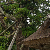 The Tamawakasu-mikoto Shrine is the main shrine of the Oki Islands. On the grounds is a giant Japanese cedar called Yao-sugi that is over two thousand years old. It is located on Dogo, the largest island of the Oki Islands which is an archipelago in the Sea of Japan, Shimane Prefecture, Japan.