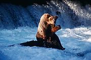 """Brown Bear Saying """"Hi"""", Brooks River, Katmai National Park, Alaska."""