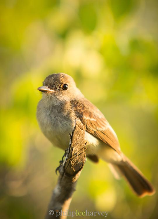 Warbala Finch, Santa Cruz Island, Ecuador, Galapagos, Ecuador, South America