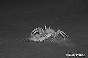 ghost crab, Ocypode sp., drags off live Australian flatback sea turtle hatchling, Natator depressus, ( endemic to Australia & southern New Guninea ) Crab Island, off Cape York Peninsula, Torres Strait, Queensland, Australia; photo taken in the dark of night using infrared illumination