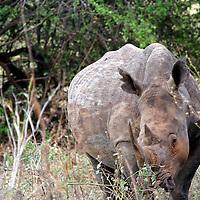 Africa, Kenya, Meru. White Rhino of Meru National Park Rhino Sanctuary.