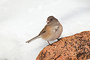 Stock photo of dark-eyed junco captured in Colorado.  A flash of white tail feathers serves as an alarm to other members of the flock.