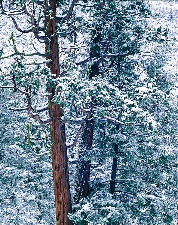Incense cedar, winter, Yosemite Valley, Yosemite National Park, California, USA