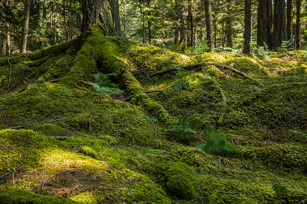 A carpet of moss grows over the forest floor along the Twin Lakes Trail in Moran State Park, Orcas Island, Washington, USA.