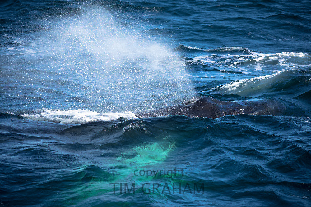 Humpback Whale respiring as blow hole spouting water, Megaptera novaeangliae, in North West Atlantic, Massachusetts, USA