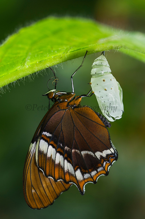 Rusty-Tipped Page (Siproeta epaphus)<br /> Mashpi Rainforest Biodiversity Reserve<br /> Pichincha<br /> Ecuador<br /> South America
