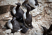 Guillemots and chick on the Saltee Islands, off the coast of Co. Wexford, Ireland. More than 21,000 guillemots nest and breed here.