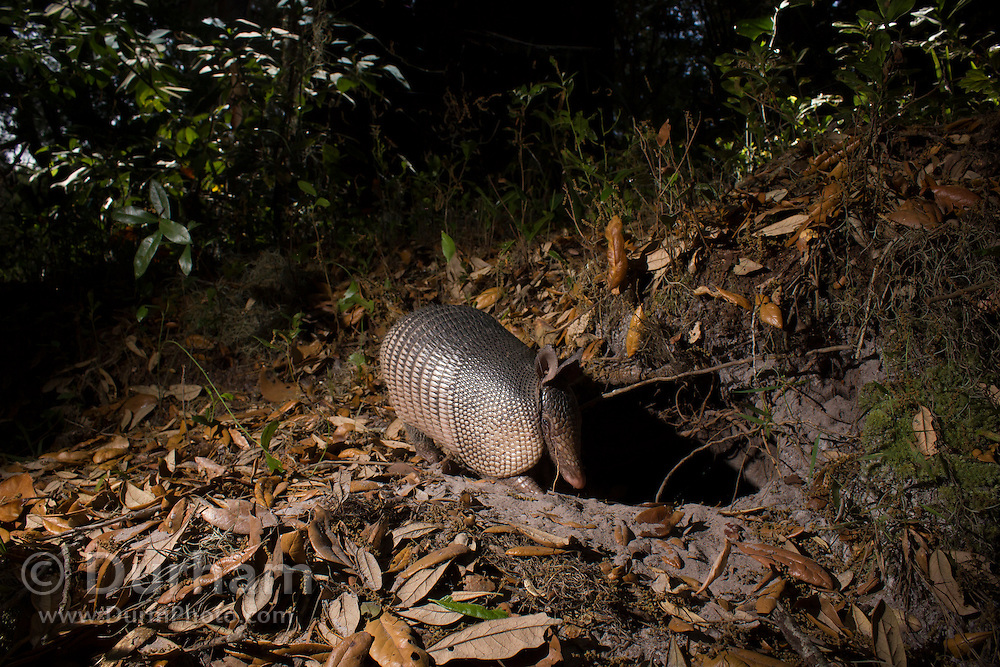 A nine-banded armadillo (Dasypus novemcinctus) foraging at dusk in Timucuan Ecological and Historic Preserve, Florida.