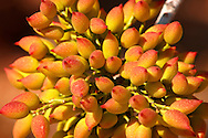 Fresh pistachio nuts growing on bushes.  Aegina, Greek Saronic Islands .<br /> <br /> If you prefer to buy from our ALAMY PHOTO LIBRARY  Collection visit : https://www.alamy.com/portfolio/paul-williams-funkystock/aegina-greece.html <br /> Visit our GREECE PHOTO COLLECTIONS for more photos to download or buy as wall art prints https://funkystock.photoshelter.com/gallery-collection/Pictures-Images-of-Greece-Photos-of-Greek-Historic-Landmark-Sites/C0000w6e8OkknEb8