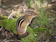 A Very Cute Eastern Chipmunk, Tamias striatus