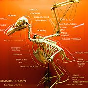 Display of the skeletal structure of a raven at the Smithsonian Institution's National Natural History Museum in Washington DC.