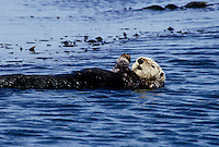 Sea Otter, Monterey Bay California