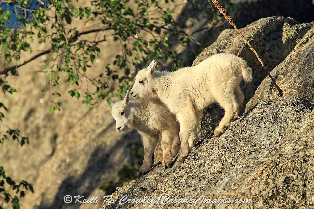 Twin Rocky Mountain Goat kids in habitat.