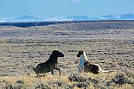 Fighting mustangs, high desert, Farson Wyoming