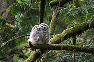 Barred Owl (Strix varia) fledglings snuggling together on a branch. Barred Owl owlets can be fed by parents for months after leaving the nest while they learn to hunt for themselves. An adult was heard hooting nearby but did not visit the owlets while I was there.  Photographed at Campbell Valley Park in Langley, British Columbia, Canada.