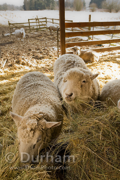 Two ewe's feed on a bail of hay on a small family ranch. Sauvie Island, Oregon. Property Released.