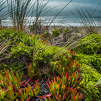 Iceplant grows amid grass and other small plants on beachfront dunes in California's Point Reyes National Seashore.  This non-native plant was imported from South Africa to stabilize hillsides, but now squeezes out other plants needed by wildlife and prevents natural erosion of the dunes.