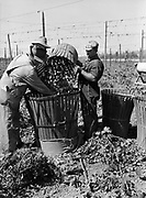 5599Filling a bag with hops at the E. Clemens Horst hop ranch near Independence, Oregon. September 1, 1942.