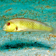 Rosy Razorfish inhabit sandy areas often adjacent sea grass beds in Tropical West Atlantic; picture taken St. Vincent.