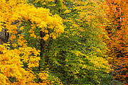 A variety of trees display the full assortment of autumn colors along the main trail in the Washington Park Arboretum, Seattle, Washington.