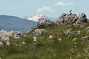 Bird perched on a stone near Col de Mente, Haute Garonne, France.