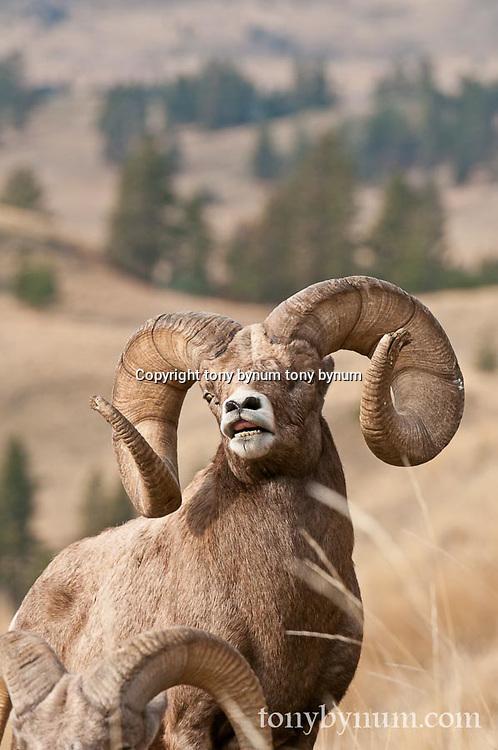 mature trophy bighorn sheep ram wild rocky mountain big horn sheep